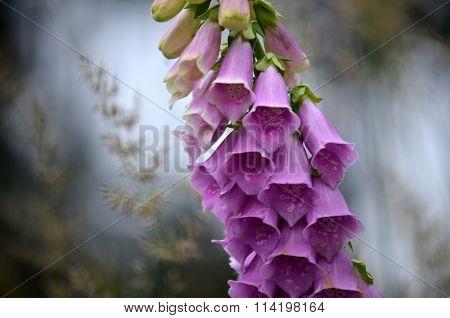 Flowering Foxglove