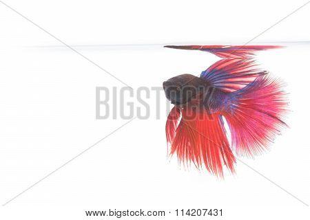 Betta Fish, Siamese Fighting Fish Isolated
