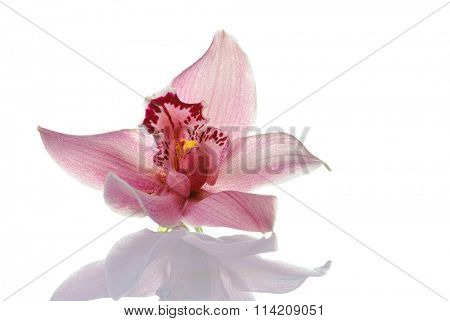 pink orchid with shadow isolated  on white background macro