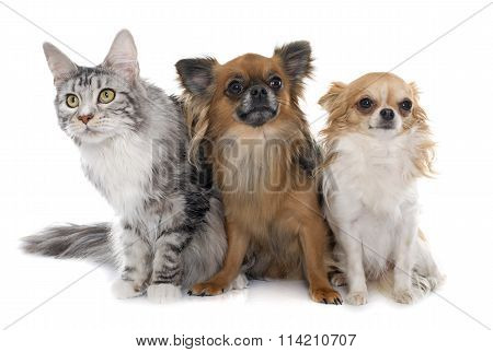 Long Hair Chihuahuas And Maine Coon