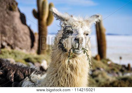 Lama In Salar De Uyuni, Bolivia