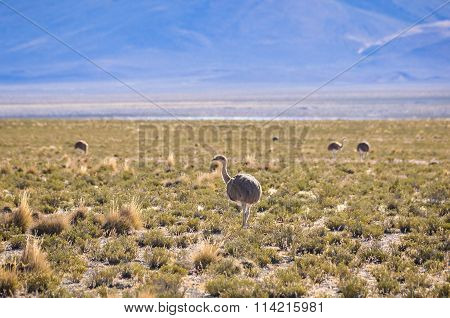 Group Of Nandos In The High Andean Plateau In Bolivia