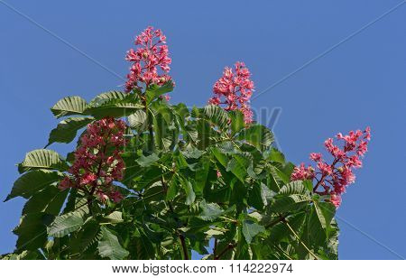 Chestnut Tree With Pink Blossom