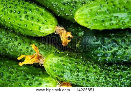 ..pile Of Fresh Green Cucumbers Close Up. Cucumber Background.