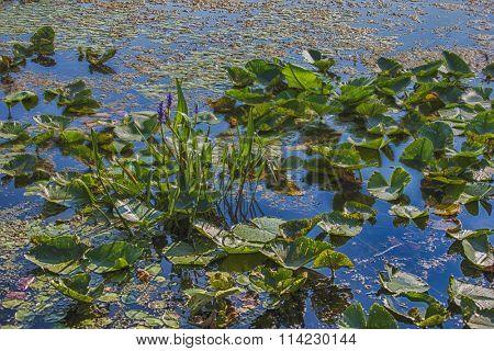 Detail of lillypads on water, Point Pelee national park, Ontario, Canada