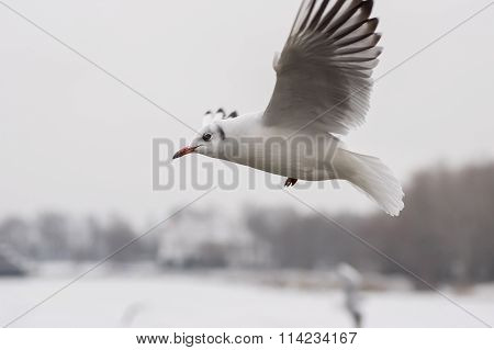 Graceful gull in fly over Dnepr river at winter season