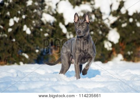 Thai ridgeback dog outdoors in winter