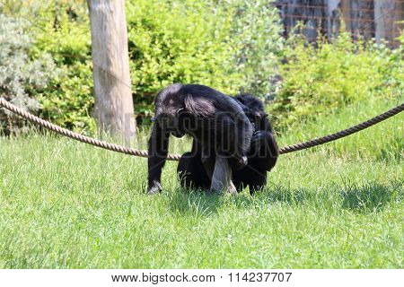 A Chimpanzee Comb Through Another Monkey