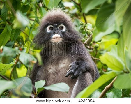 Dusky Leaf Monkey Portrait