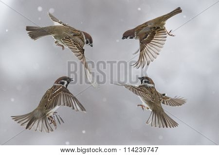 sparrows flit in the air