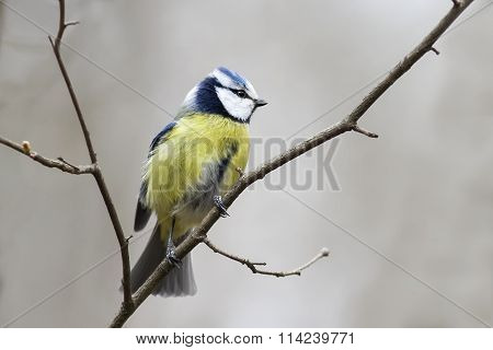 bird blue tit on a branch