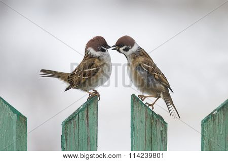 two sparrows fly in winter