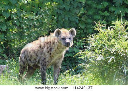 A Hyena Walks Inside His Fence