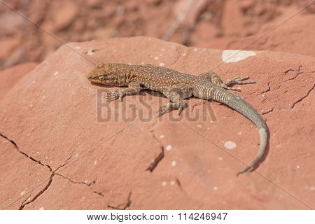 Common Side-blotched Lizard In The Desert