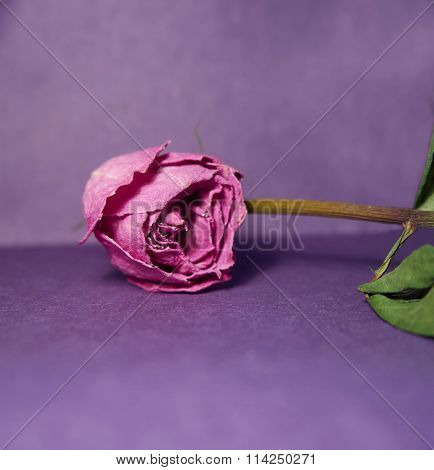 Dried Purple Rose. Rose Isolated On Purple Background