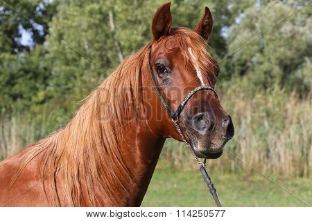 Portrait Of A Beautiful Arabian Horse Head On Natural Background
