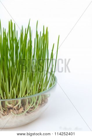 Sprouted grains in glass vase