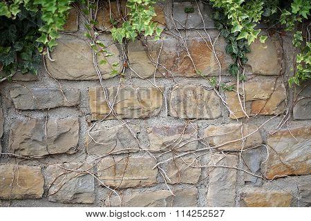 Bindweed Climbing Up Stone Wall