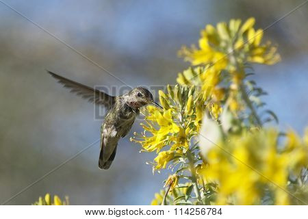 Anna's Hummingbird flying hovering in flight drinking from yellow flowers in a meadow.