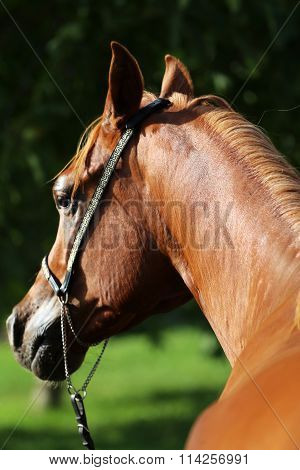 Purebreed Arabian Stallion Portrait