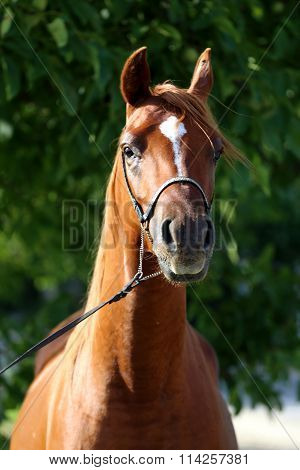 Purebreed Arabian Stallion Head With Halter On Natural Background