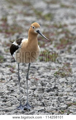 American Avocet Female