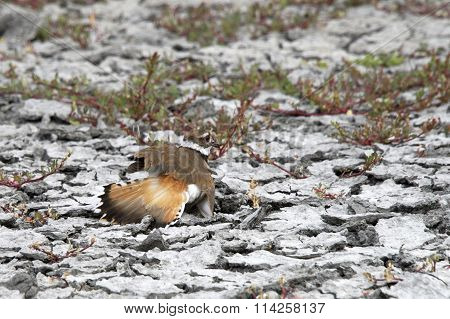 Killdeer female pretending to be injured to draw prey away from her nest