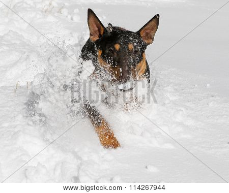Bull Terrier with snow on his face