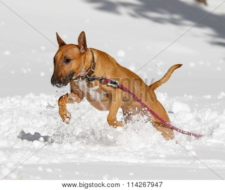 Bull Terrier playing in the snow