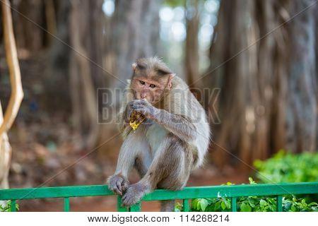 Bonnet Macaque Bangalore India