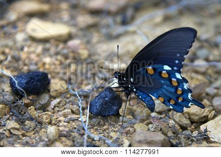 blue multi color Swallowtail butterfly on river rock