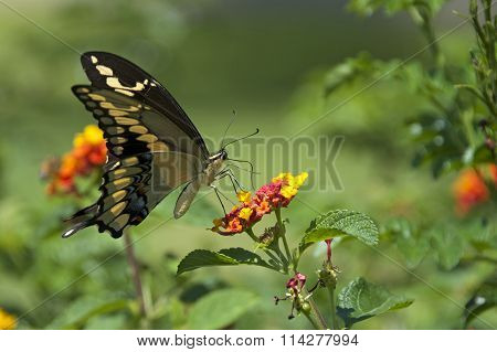 Black Swallowtail butterfly on orange and yellow lantana flowers