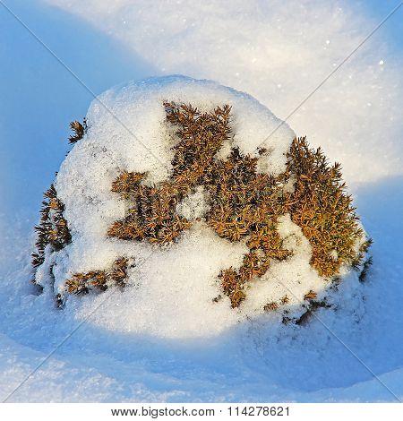 Gardening Form Of Ordinary Decorative Juniper (juniperus Communis)