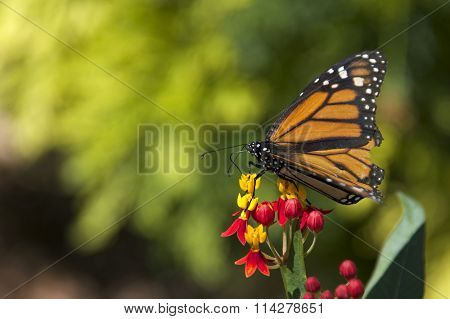 Monarch Butterfly on tiny yellow and red flowers.