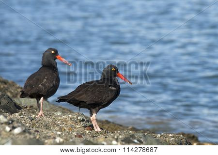 two black ostercatchers on a rocky shoreline. One defecating.
