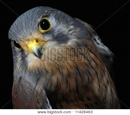 Peregrine(british Bird of Prey)