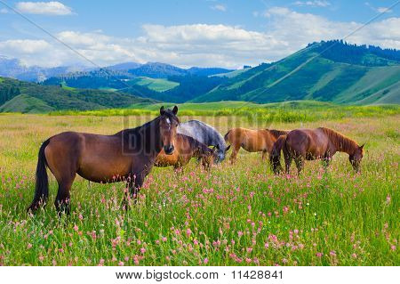 Horses Are Grazed On A Meadow