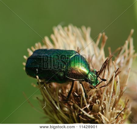 Rose Chafer beetle