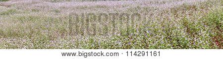 Panorama buckwheat flower fields