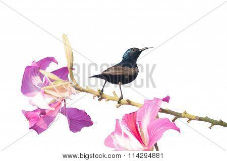 Purple Sunbird : Bird Perching On Flower