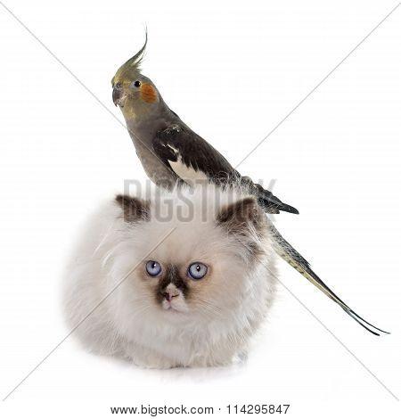 British Longhair Kitten And Cockatiel