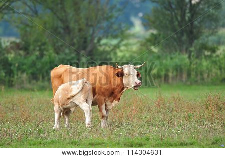 Cow With Her Cub