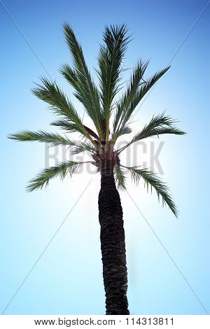 One Green Tall Palm Tree