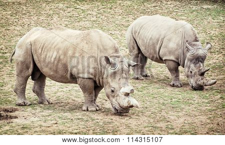 White Rhinoceros (ceratotherium Simum Simum), Two Animals