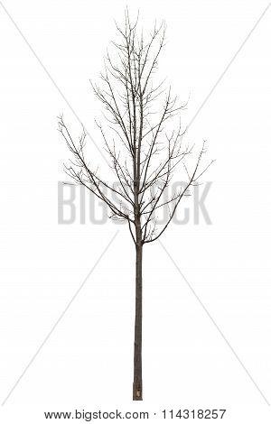 Naked Tree On White