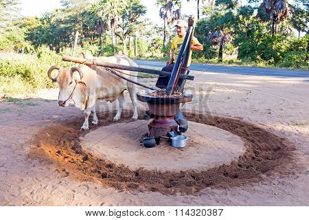 BAGAN, MYANMAR - November 19, 2015: Extracting oil from peanuts in an old fashioned way