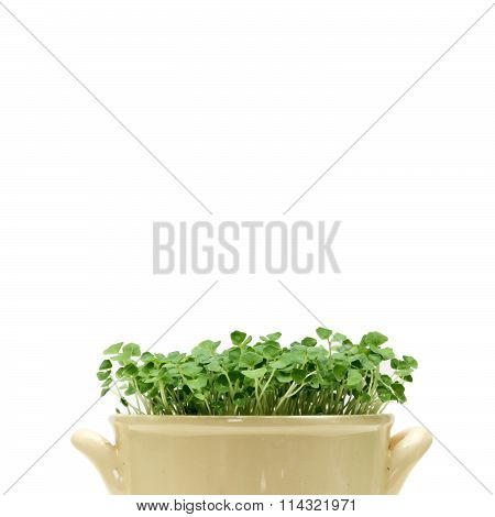 Chia Sprouts In A Pot On A White Background