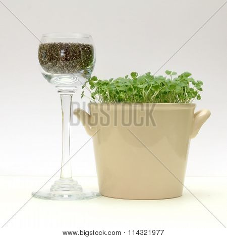 Chia Seeds And Chia Sprouts In A Pot