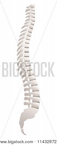 Backbone Lateral View