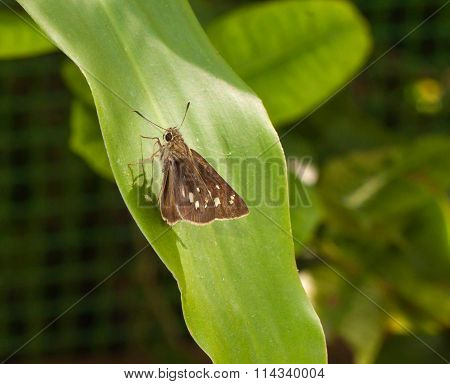 Close Up Brown Skipper Butterfly On Green Leaf